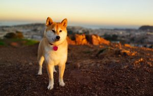 Animals___Dogs_Akita_Inu_near_the_sea_048250_