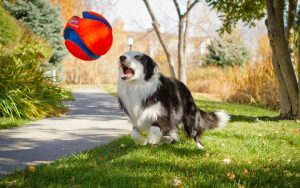 Animals___Dogs_The_dog_plays_ball_086858_