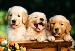 b_0_650_00___images_dogs_golden-retriver-2