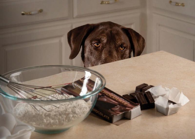 Почему собакам нельзя давать шоколад 195