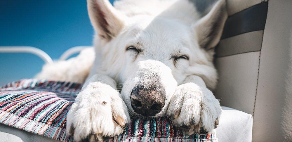 Тепловой удар у собаки: как избежать, первая помощь, симптомы